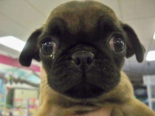 Süßer Hund mit großen Augen
