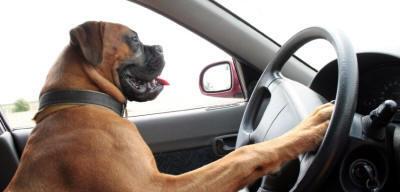 Hund am Steuer - Autofahren und Urlaub mit dem Hund