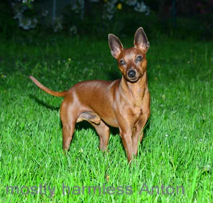 mostly harmless Zwergpinscher