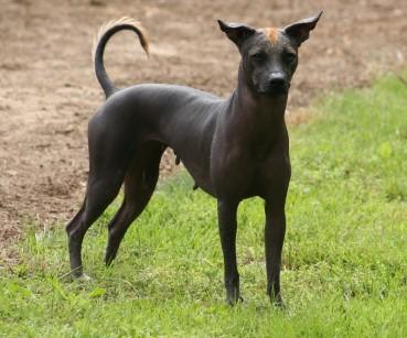 Der Xoloitzcuintle bzw Mexikanische Nackthund