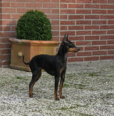 Der English Toy Terrier