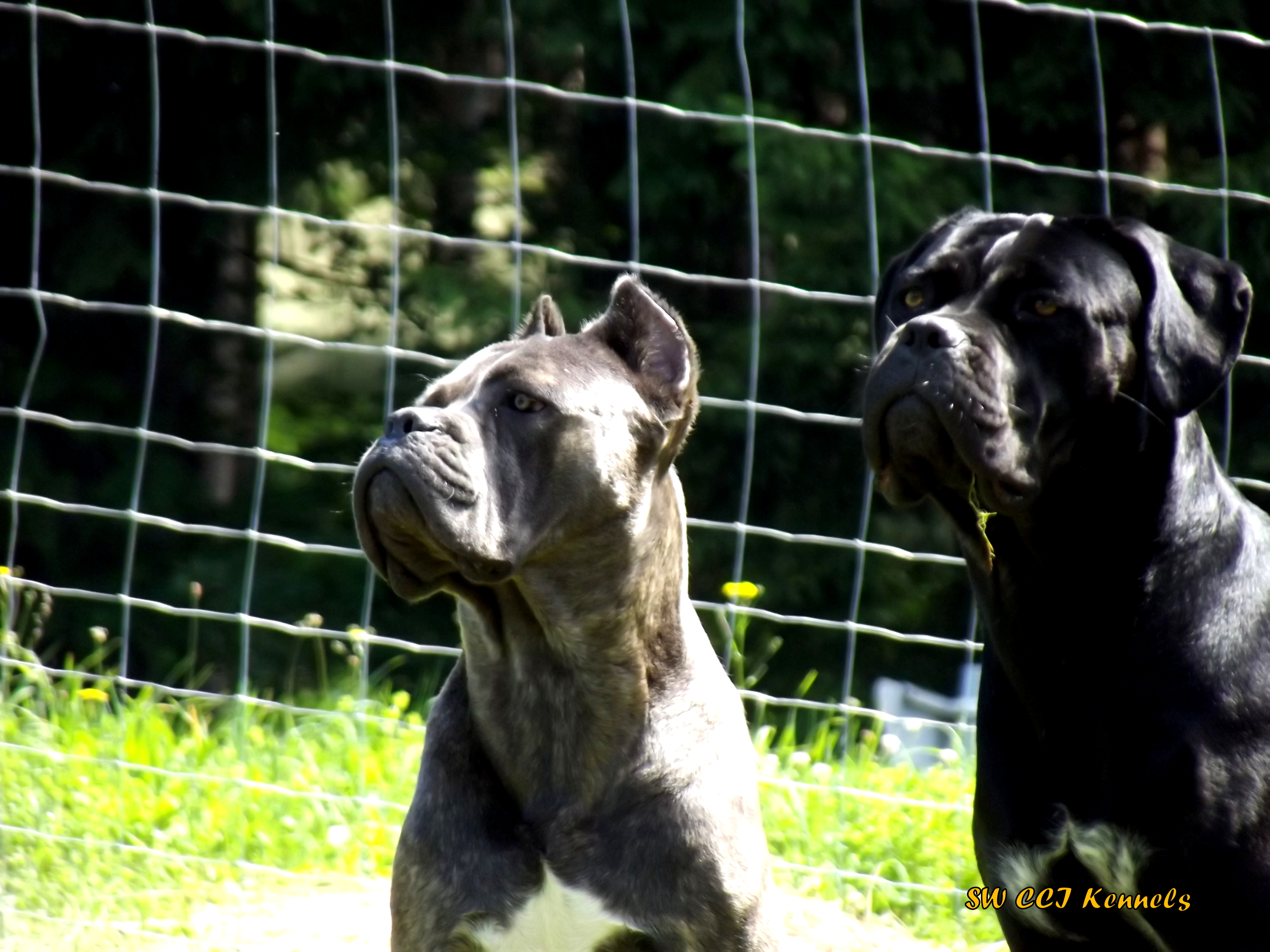 zwei Cane Corso Italiano