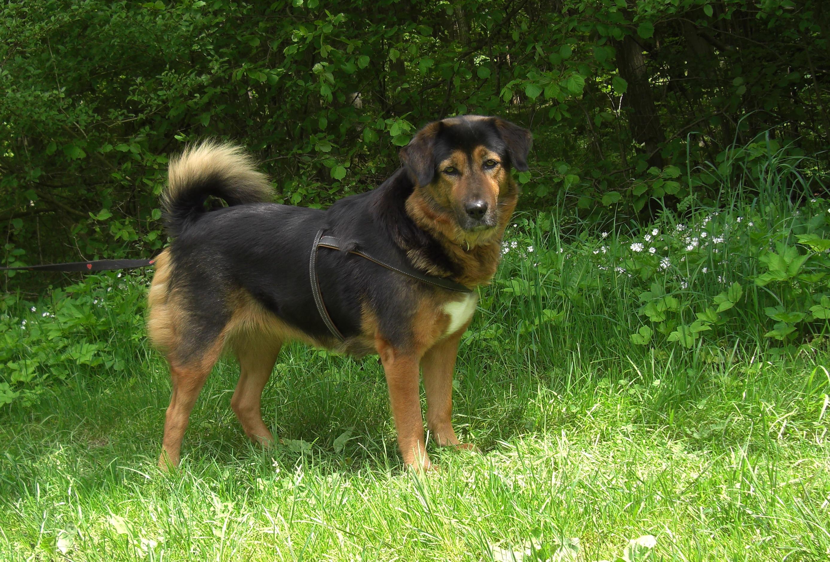 Der Do Khyi – ein Hund mit vielen Namen
