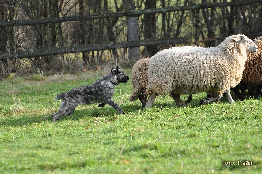 Bouvier des Ardennes treibt Schafe vor sich her