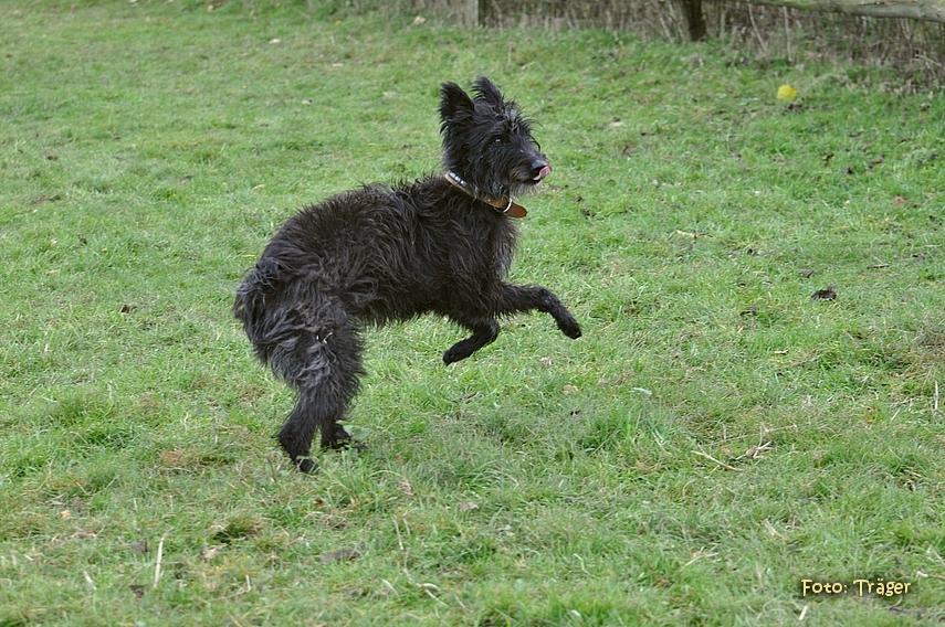 schwarzer Bouvier des Ardennes im Gras