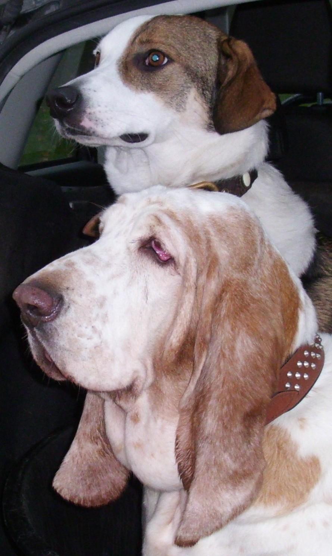 Basset und ein russischer Hund