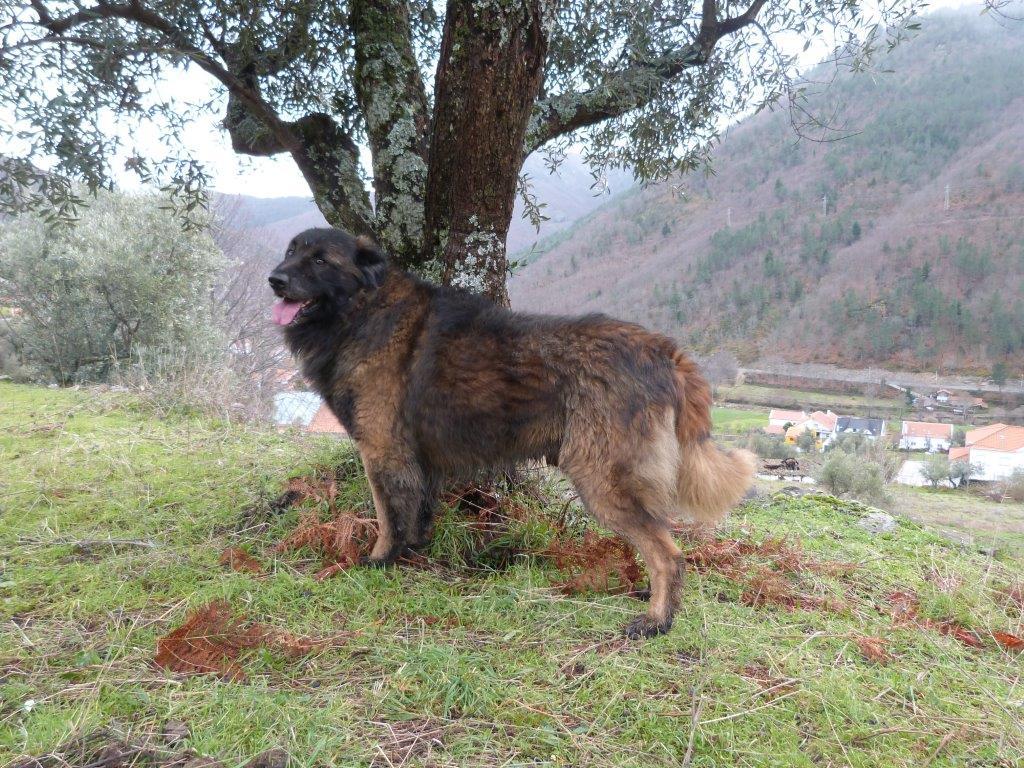 Portugiesischer Hirtenhund, oder: Serra da Estrela Hund