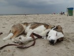 müder russischer Hund am Strand