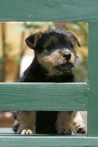 Norwich Terrier - welcher Hund passt zu mir?