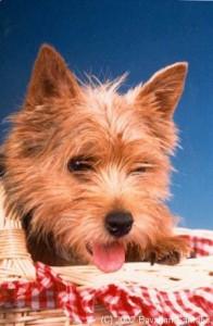 Norwich Terrier Züchter Uschi Anders