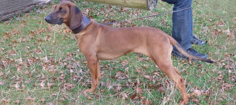 Bayerische Gebirgsschweißhund: Der Körperbau des BGS / Afra vom Ölbach