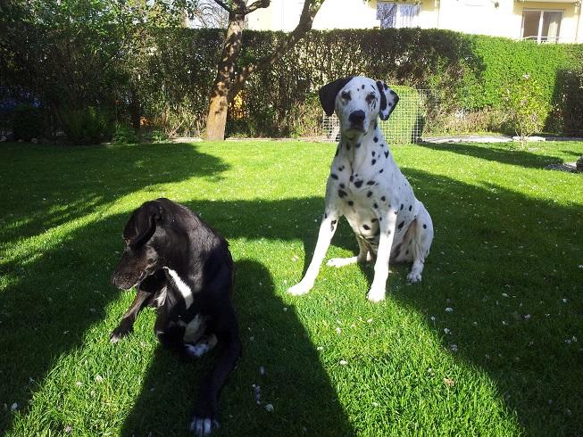 zwei Dalmatiner im Garten
