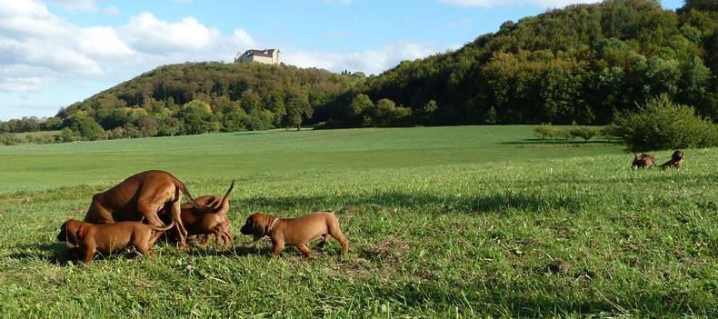 Bayerische Gebirgsschweißhund: Afra vom Fischbach mit dem A-Wurf auf einem Ausflug