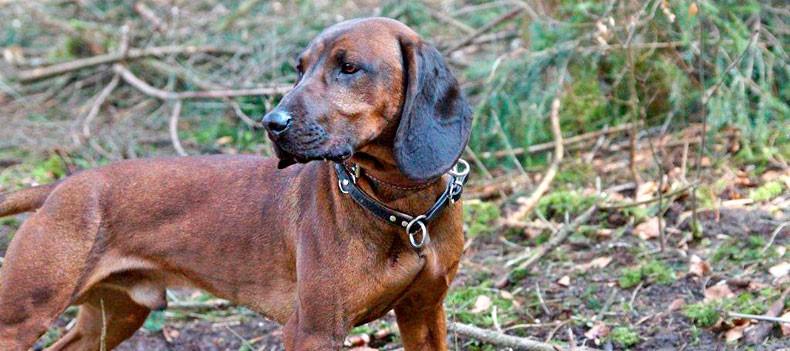 Bayerische Gebirgsschweißhund: Der BGS im Profil / Aik vom Fischbach
