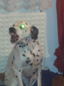 Dalmatiner mit grünem Auge