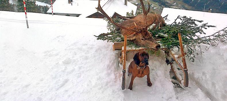 Bayerische Gebirgsschweißhund: Erfolgreiche Nachsuche / Asra vom Fischbach