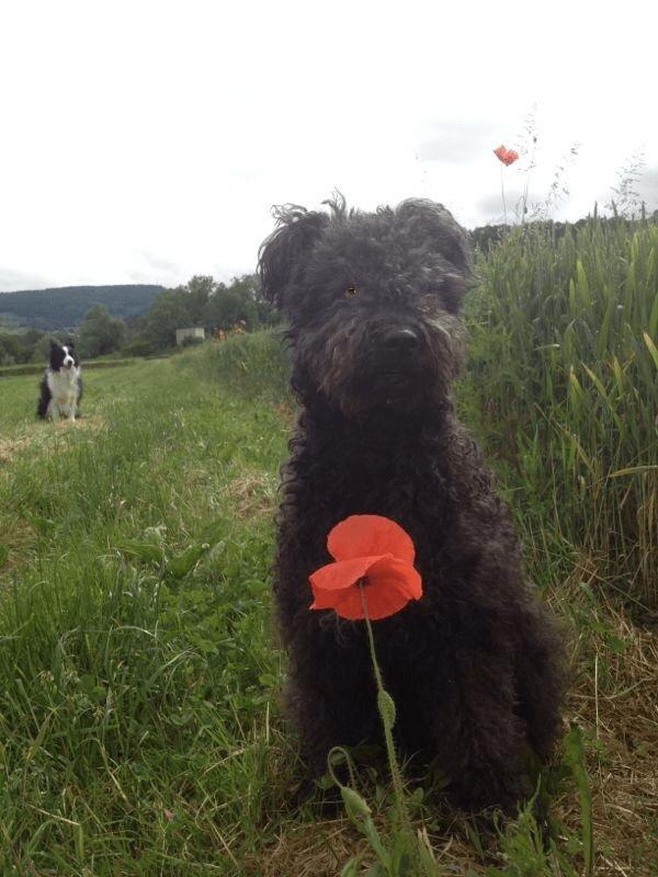 schwarzer Pumi mit roter Blume