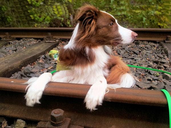 Hund Mailaka auf den Schienen