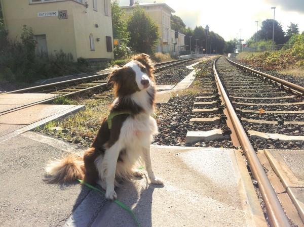 Hund Mailaka am Bahnübergang