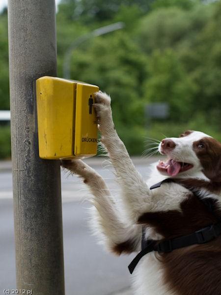 Hund Mailaka an der Ampel