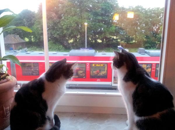 Katzen beobachten den Zug