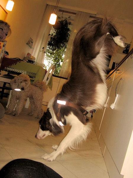 Hund Mailaka steigt die Küche hoch und runter