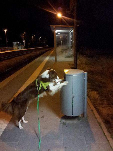 Hund Mailaka durchsucht Bahnhofsmülltonne
