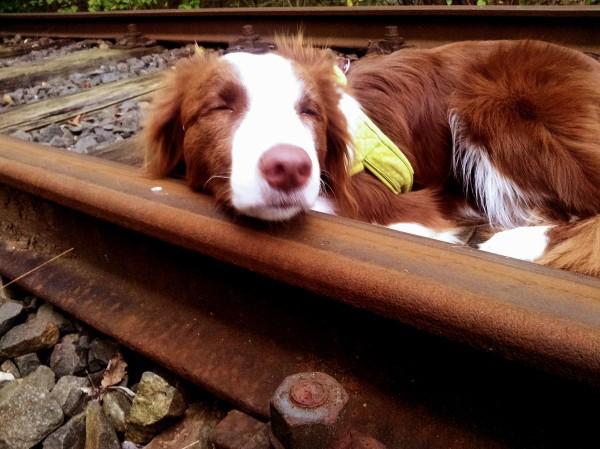 Hund Mailaka schläft auf den Schienen