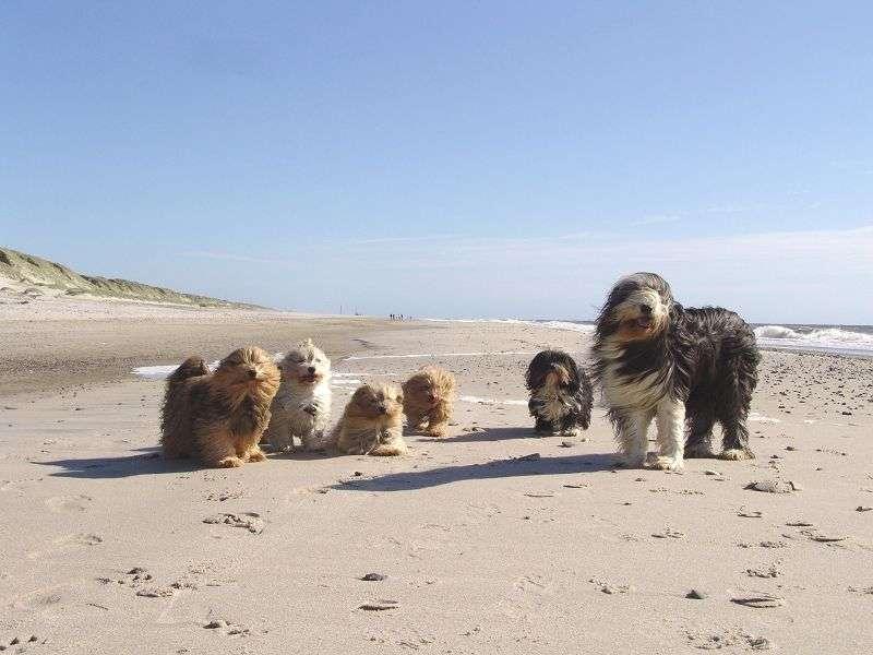 Sechs Havaneser am Strand