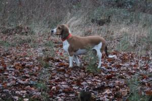 1 Schweizer Niederlaufhund im Wald