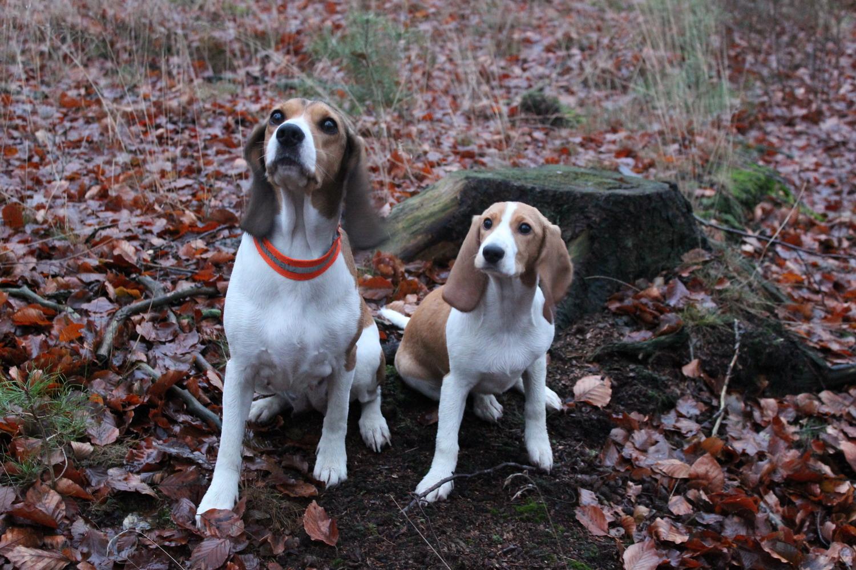 2 Schweizer Niederlaufhunde im Wald