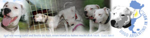 Dogo Argentino in Not