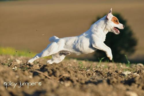 Der Parson Jack Russell Terrier