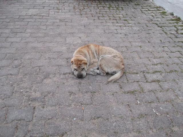 Hund auf der Strasse, Costa Rica