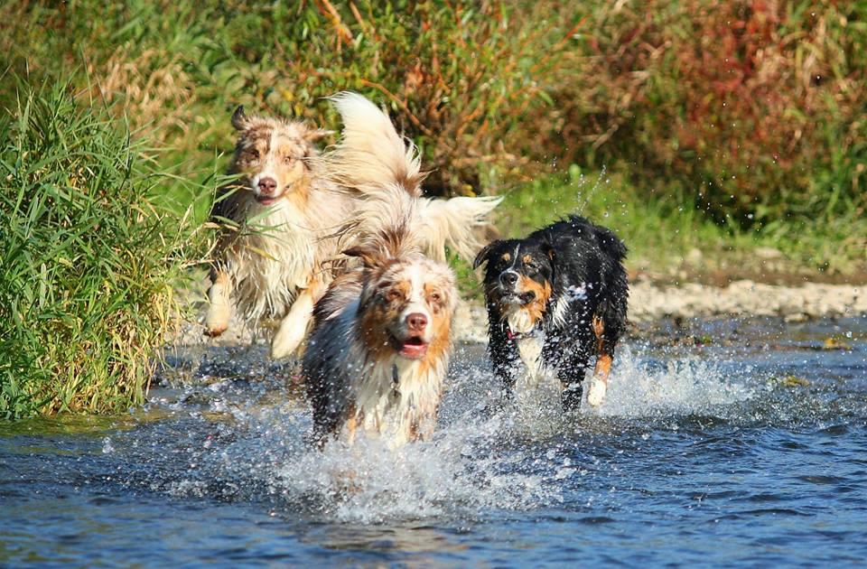 Die meisten Australian Shepherds lieben das nasse Element.