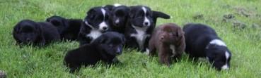 """Warum Geiz bei der Anschaffung eines Australian Shepherd nicht """"geil"""" ist."""