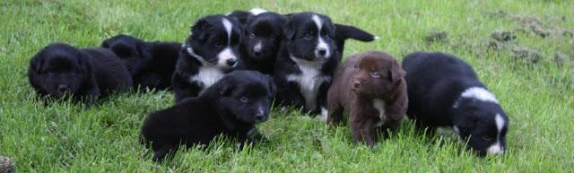 ganz viele kleine Australian Shepherds