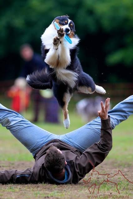 Dog Frisbee ist eine der beliebten Hundesportarten - Australian Shepherd mit Frisbee im Maul