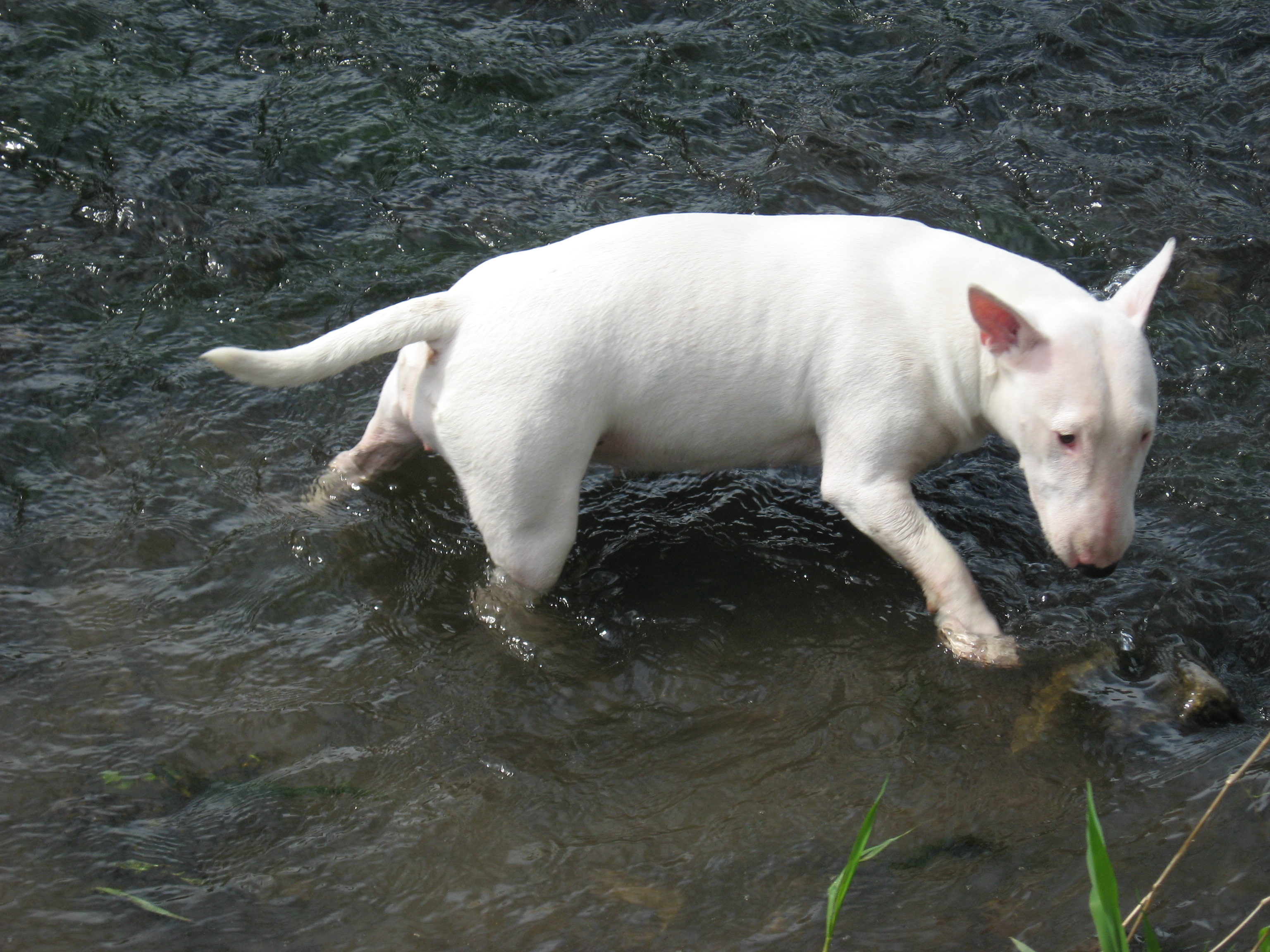 Miniatur Bullterrier durchquert das Wasser