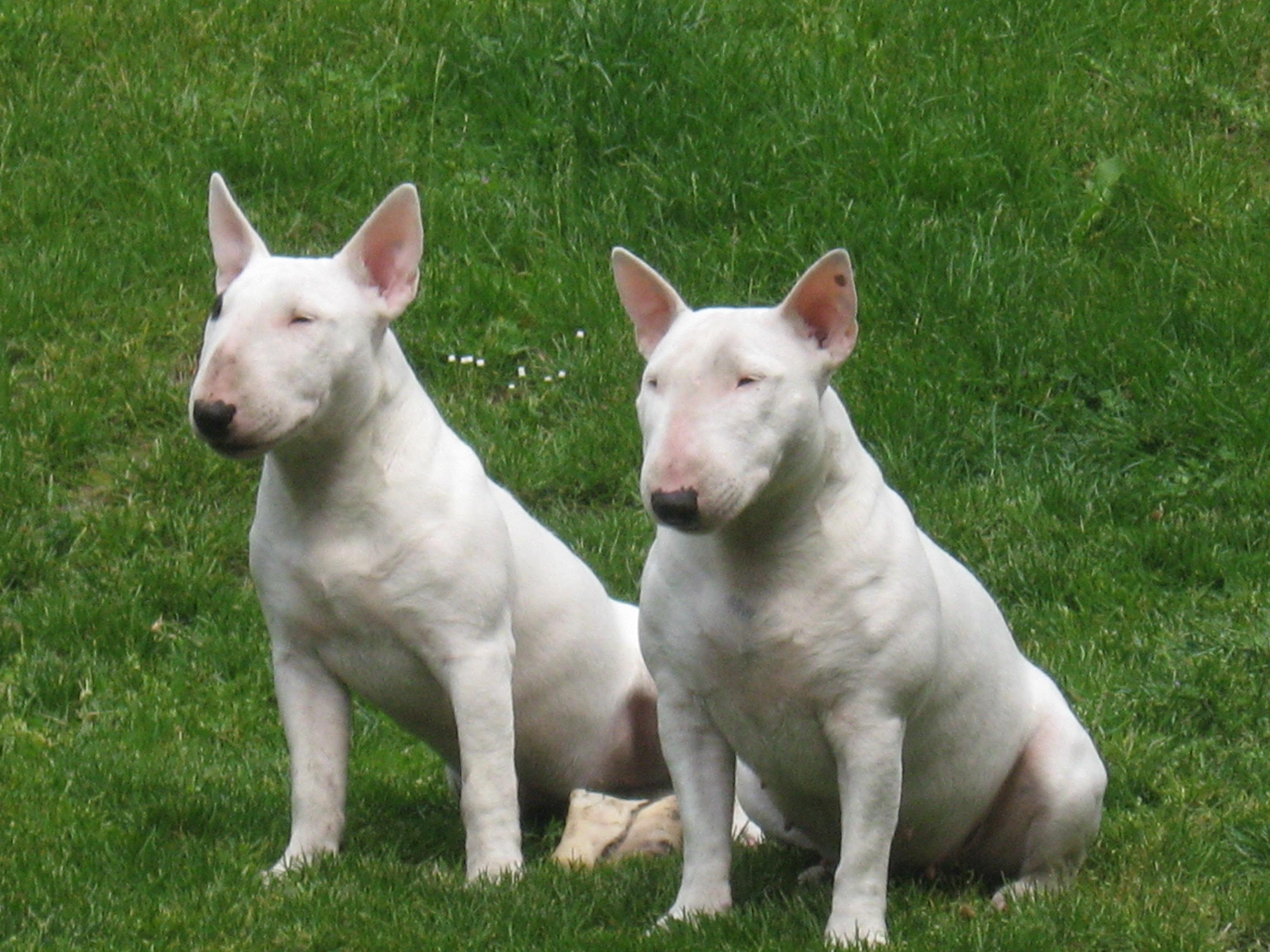 Zwei Miniatur Bullterrier auf dem Rasen