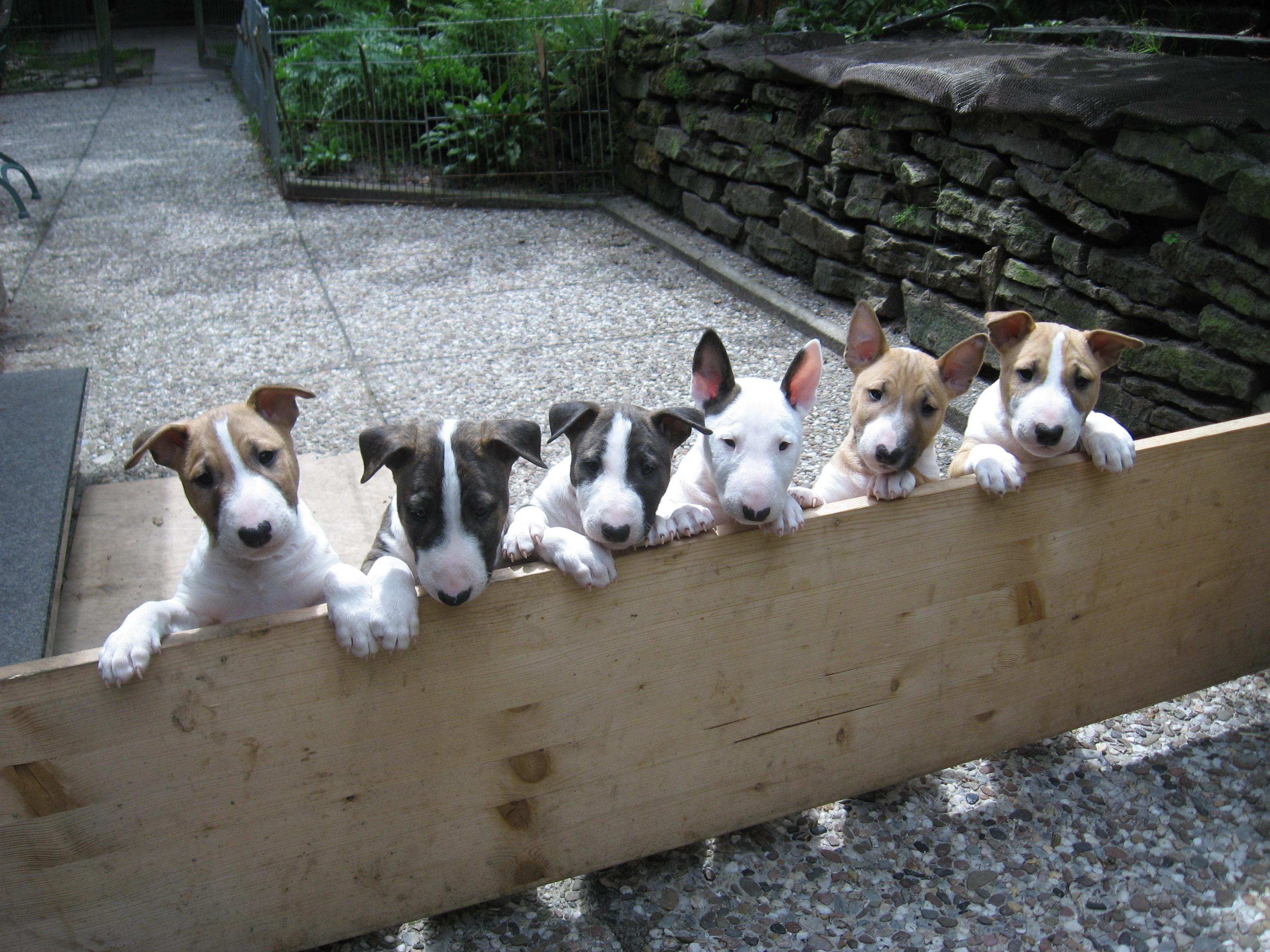 Sechs Miniatur Bullterrier hinter Zaun