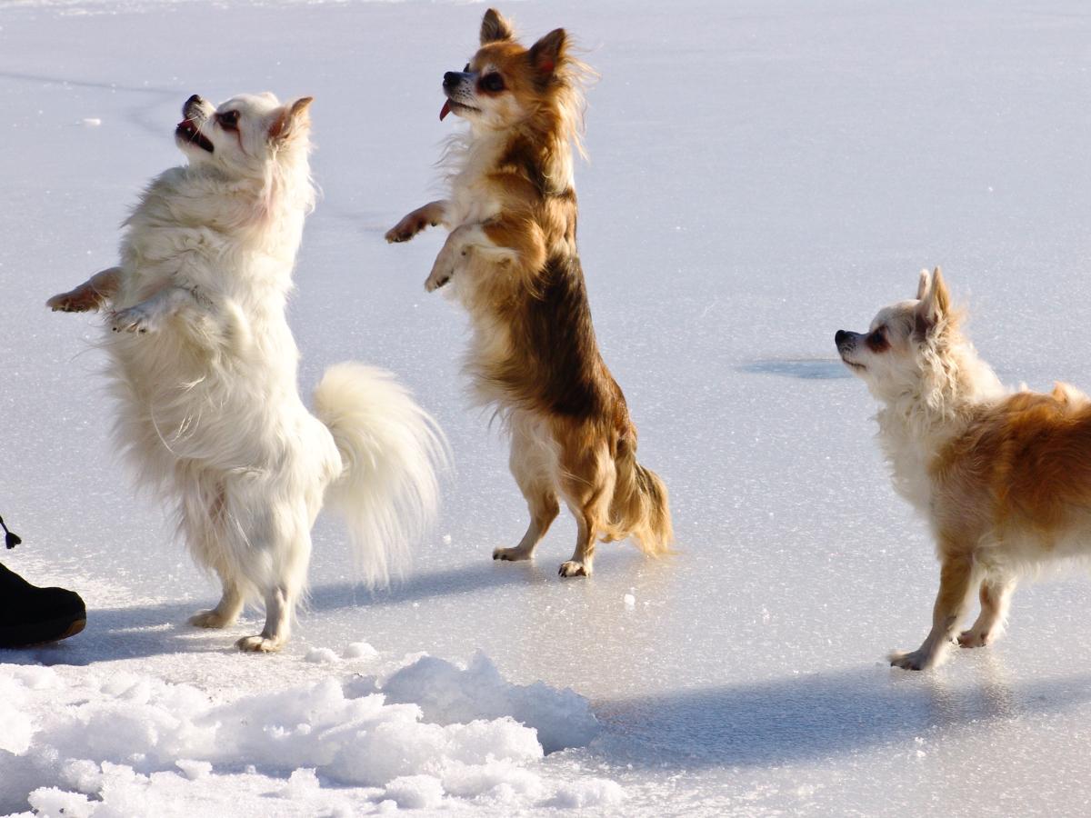 zwei Chihuahua machen Männchen