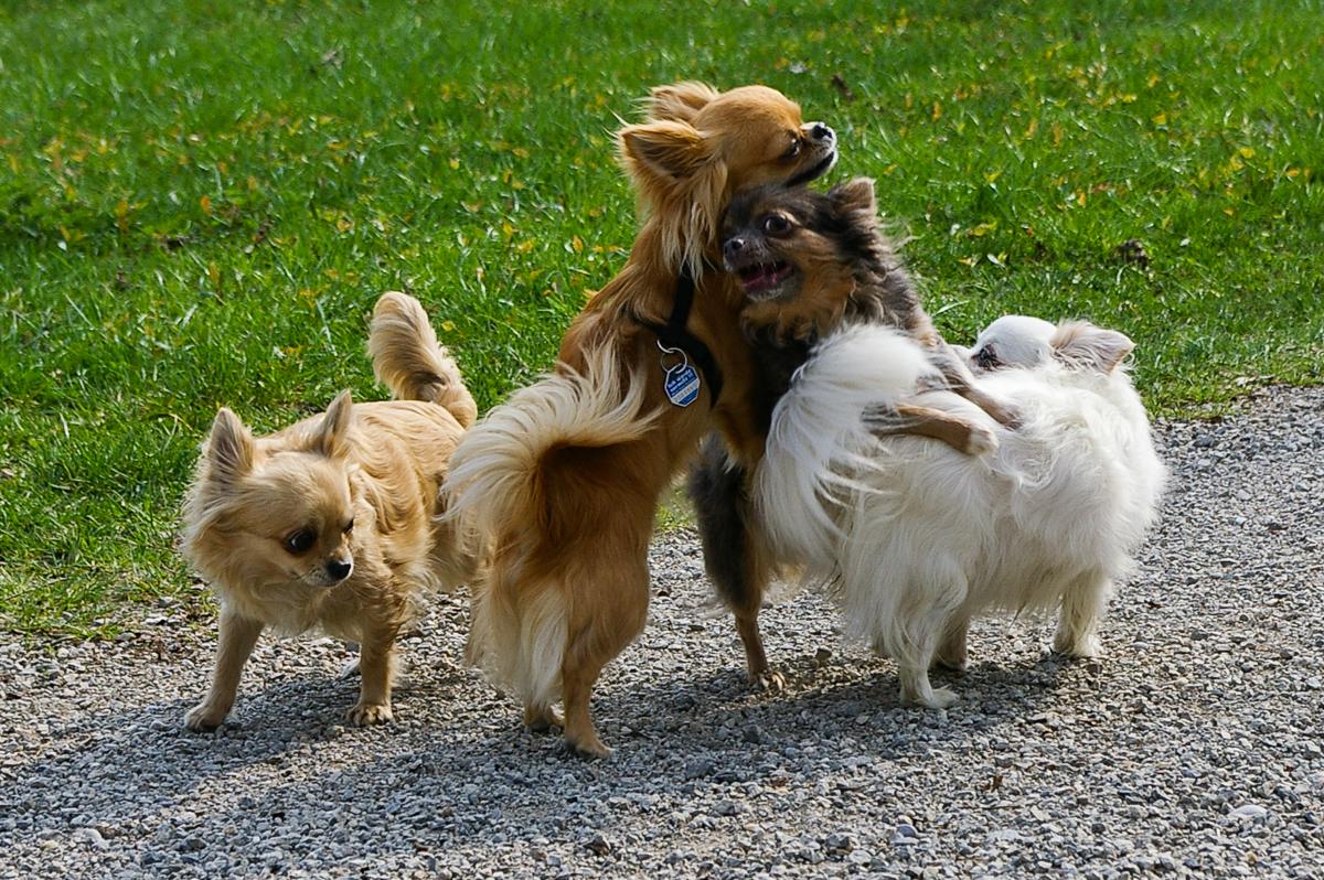vier Chihuahuas auf einem Gartenweg