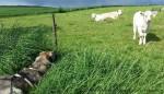 """Laika bei """"ihren"""" Kühen"""
