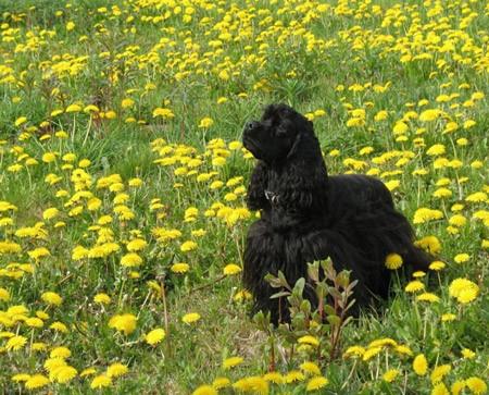 4 ein schwarzer American Cocker Spaniel spaziert durch die Blumenwiese
