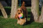 English Cocker Spaniel mit Ball
