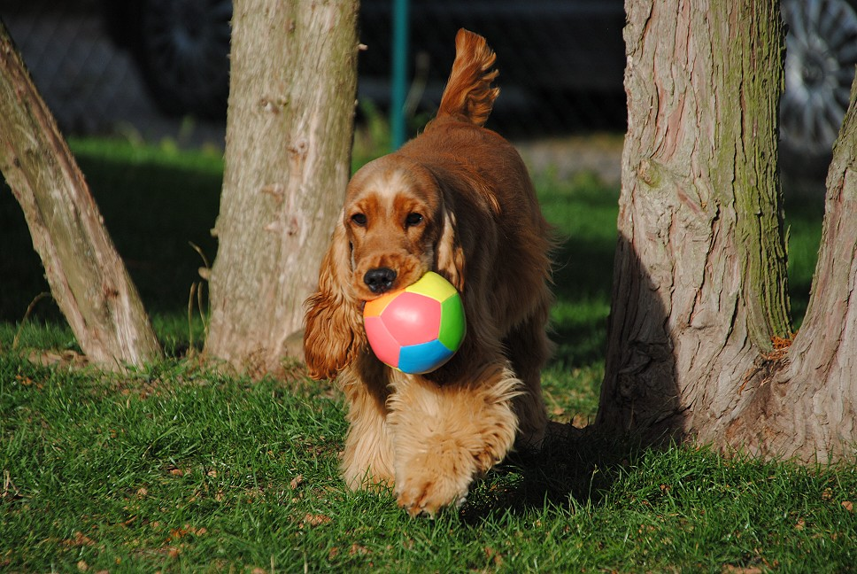 English Cocker Spaniel mit Ball