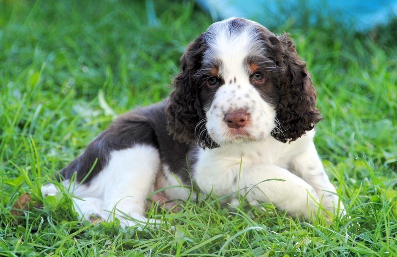 English Springer Spaniel Welpen im Gras