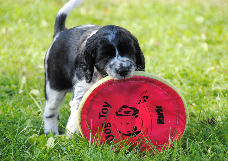 English Springer Spaniel Welpen mit rosa Frisbee
