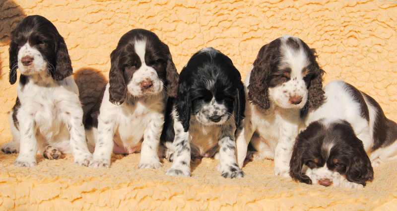 4 English Springer Spaniel Welpen